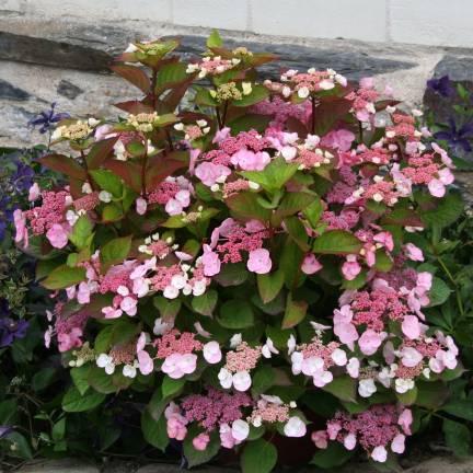 Hortensia macrophylla Dolce® gipsy