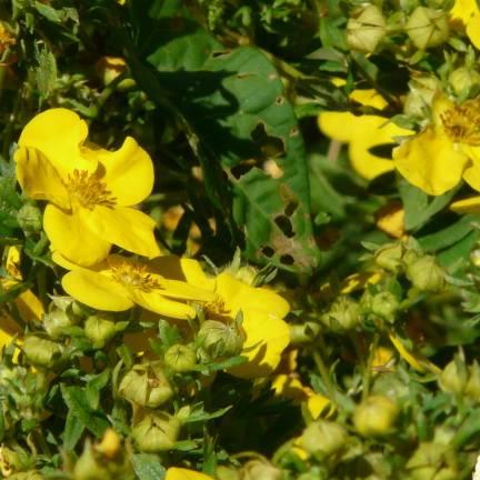 Potentille fruticosa Arbuscula