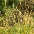Cornouiller soyeux stolonifera Flaviramea