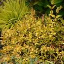 Abélie à grandes fleurs grandiflora Gold Touch® 'BMRGOLD'