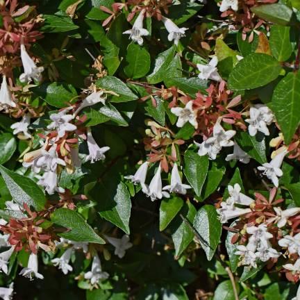 Abélie à grandes fleurs grandiflora Prostrata