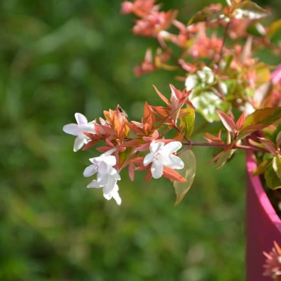 Abélie à grandes fleurs grandiflora Panaché