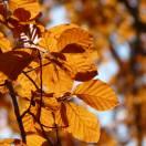 Hêtre commum sylvatica Asplenifolia