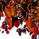 Hêtre commun sylvatica Purpurea Pendula