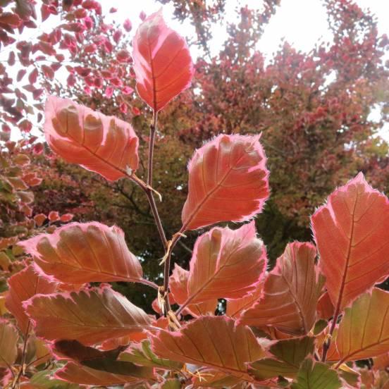 Hêtre commun sylvatica Tricolor