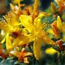 Millepertuis calycinum Hidcote