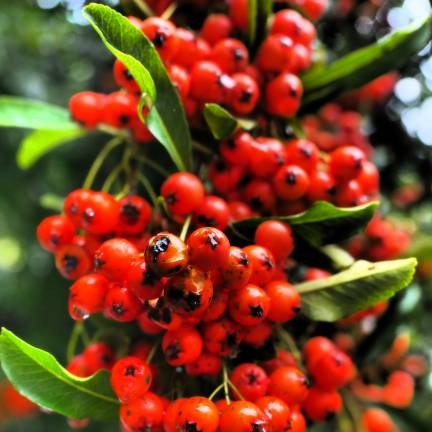 Buisson ardent coccinea Mohave