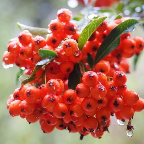 Buisson ardent coccinea Red Collumn