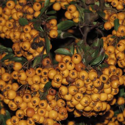 Buisson ardent coccinea Soleil d'Or