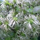 Clématite integrifolia Fascination®