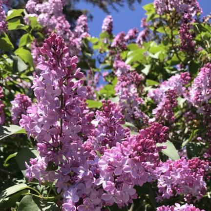 Lilas commun vulgaris Belle de Nancy