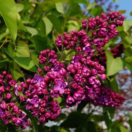 Lilas commun vulgaris Charles Joly