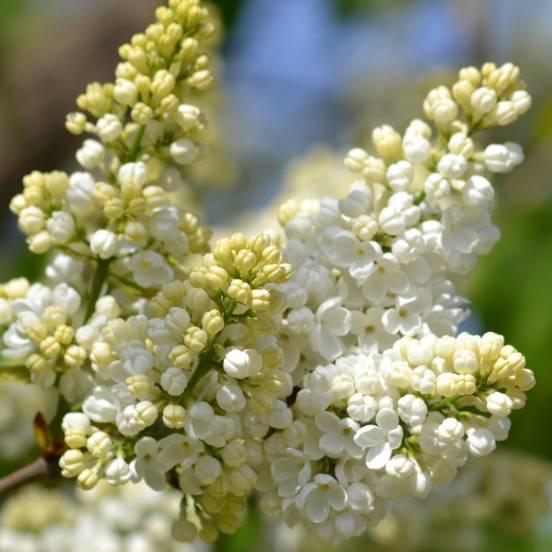 Lilas commun vulgaris Madame Lemoine