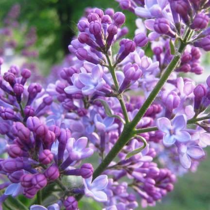 Lilas commun vulgaris Michel Buchner