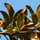Magnolia à grandes fleurs grandiflora Double Nantais