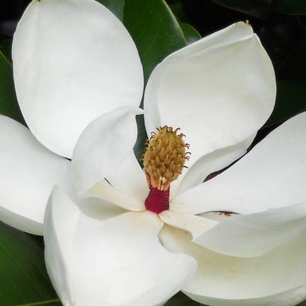 Magnolia à grandes fleurs  grandiflora Little Gem