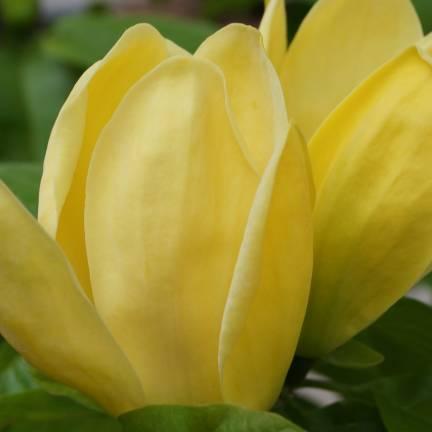 Magnolia × brooklynensis Yellow Bird