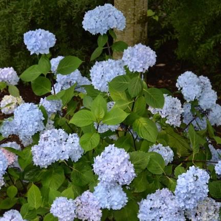 Hortensia macrophylla So Long® Ebony 'MONMAR'