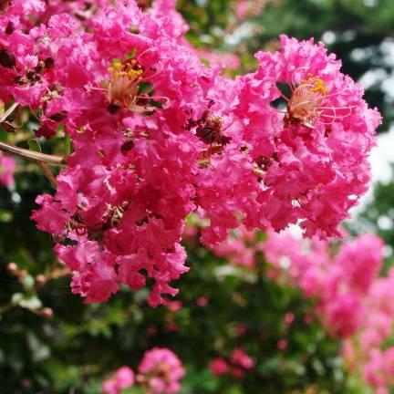 Lilas des Indes indica Minie® Fuchsia 'DABLAGE01'