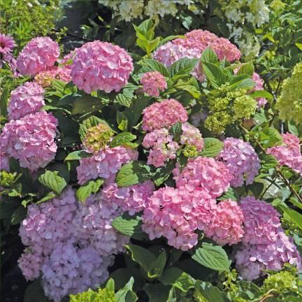 Hortensia macrophylla So Long® Rosy 'COUMONT'