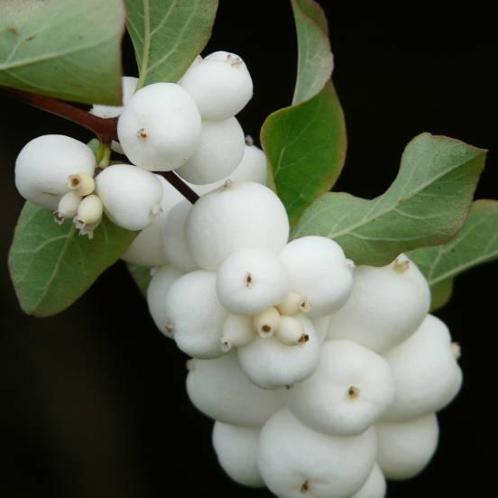 Symphorine X Doorenbosii White Hedge