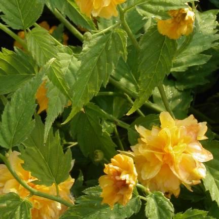 Corête du Japon japonica Pleniflora