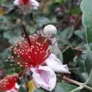 Goyavier du Brésil sellowiana