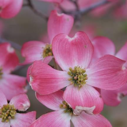 Cornouiller à fleurs d'Amérique florida Rubra