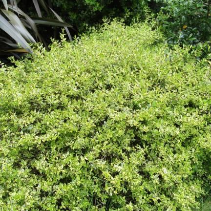 Abélie à grandes fleurs grandiflora Radiance