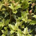 Osmanthe heterophyllus Goshiki