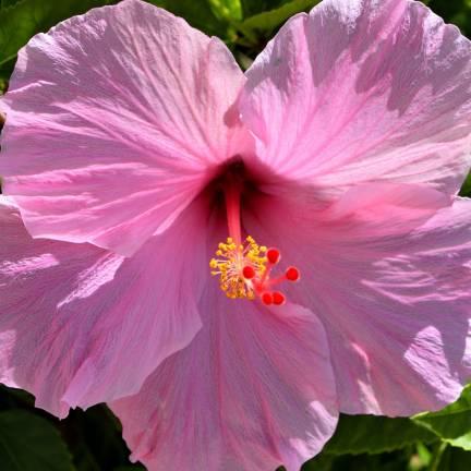 Hibiscus des marais moscheutos Rose Clair
