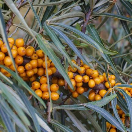 Argousier rhamnoides Leikora