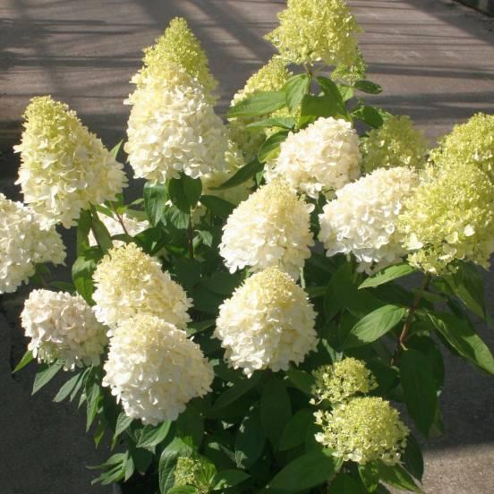 Hortensia paniculata Magical® Sweet Summer