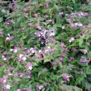 Buisson de beauté amabilis Pink Cloud