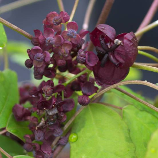 Akebie pentaphylla
