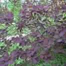 Arbre à perruque coggygria Royal Purple