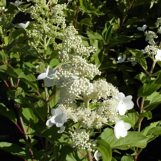 Hortensia paniculata Kyushu