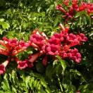 Bignone radicans Atropurpurea