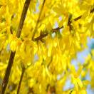 Forsythia de Paris x intermedia Week End® 'Courtalyn'