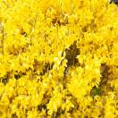 Forsythia de Paris x intermedia Lynwood