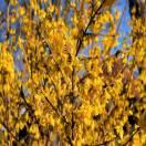 Forsythia de Paris x intermedia Spring Glory