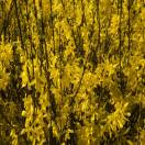 Forsythia de Paris x intermedia Fiesta