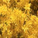 Forsythia de Paris x intermedia Boucle d'Or® 'Courtacour'