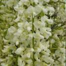 Glycine du Japon floribunda Alba