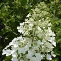 Hortensia paniculata Unique