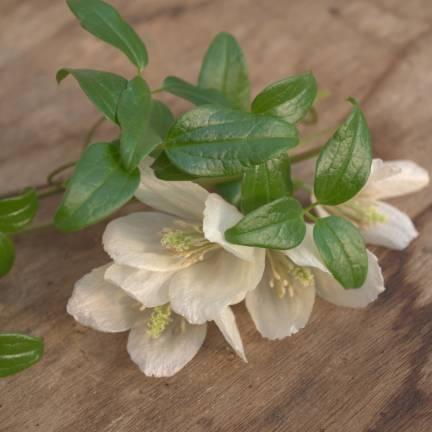 Clématite cireuse cirrhosa Wisley Cream