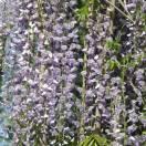 Glycine du Japon floribunda Macrobotrys