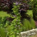 Glycine d'Amérique frutescens Longwood Purple