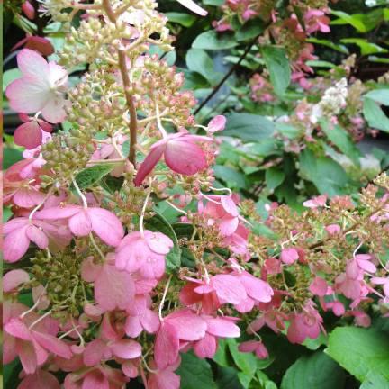 Hortensia paniculata Pink Diamond®
