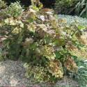 Hortensia quercifolia Alice